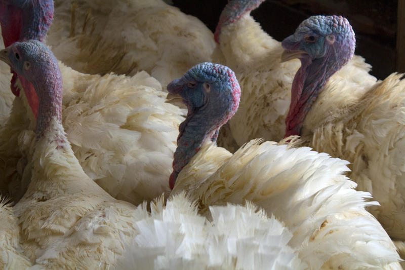 Commercial turkeys, laying hens, and broilers all have been affected by the H5N2 avian influenza currently spreading through the Midwest.
