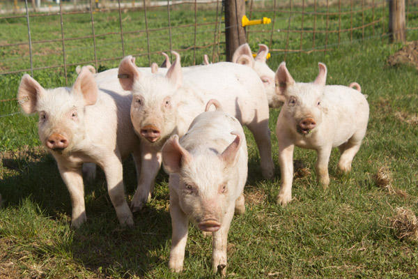 These piglets are among the livestock raised at Seven Pines Farm to offer CSA subscribers pork, chicken and lamb.