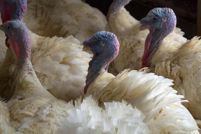 Turkeys at Noel Thompson's farm in central Iowa