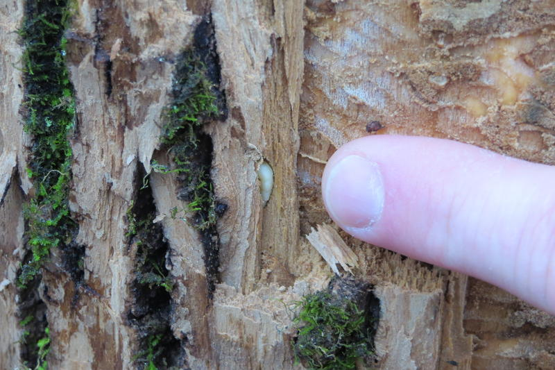 Emerald Ash Borer Larva in Lucas County