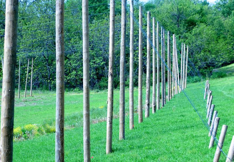Hop vines can grow as tall as these poles
