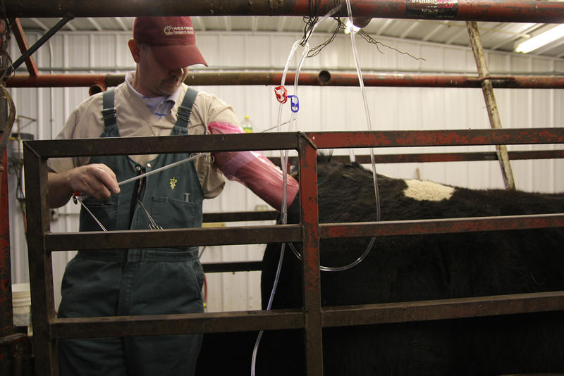 Dr. Michael Pugh owns Westwood Embryo Services in Waverly, Iowa. Pugh travels around the Midwest collecting and transferring bovine embryos.