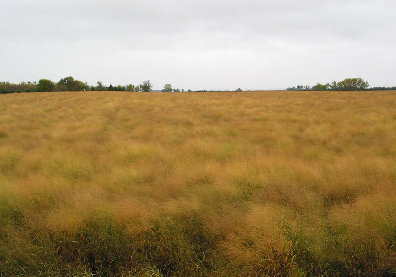 In the fall, switchgrass ripens to a golden brown. It is normally harvested in early November when the plant has gone dormant.