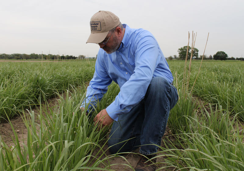 USDA grass researcher Rob Mitchell inspects a patch of switchgrass planted to produce ethanol. Switchgrass is perennial and drought tolerant, which makes it a good option for areas where it is difficult to grow corn or soybeans.