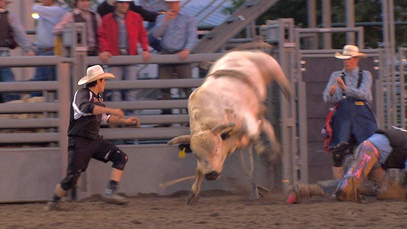 Rodeo bullfighter Rowdy Moon runs in to the rodeo ring after a cowboy is thrown by a bucking bull.