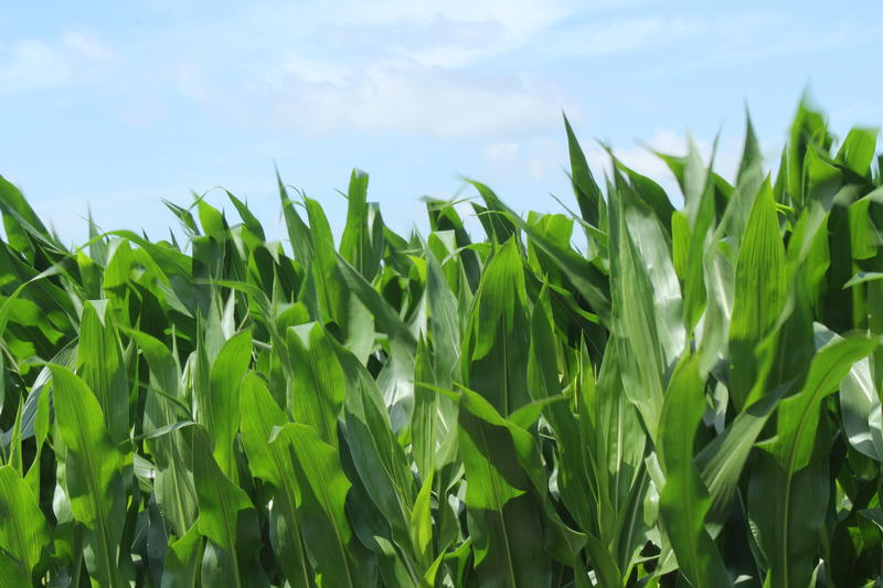 Most of the corn grown in the Midwest contains genetically modified crops, which can cause trouble in export markets.