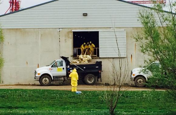 Workers in Tyvek protective suits remove dead birds from the barns at Sunrise Farms, in Harris, Iowa, last week. Some of the birds from this farm are being composted on an 80-acre plot behind the 24 large barns.