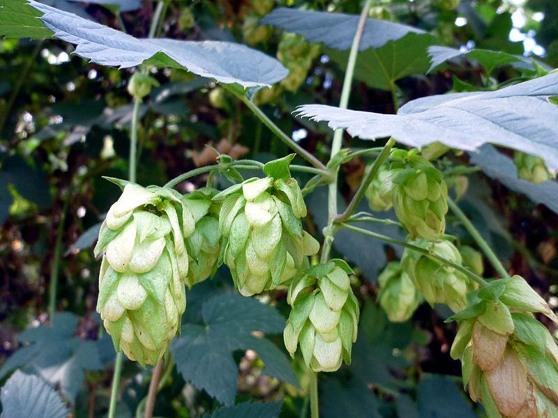 hops growing on a vine