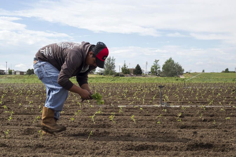 A worker plants peppers at Petrocco Farms near Brighton, Colorado.
