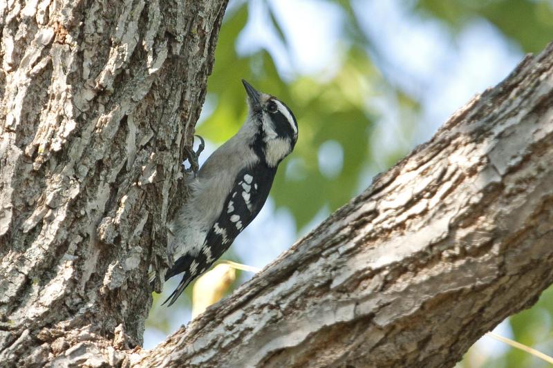 Downy Woodpecker (Picoides pubescens : Picidae) in Cedar Rapids, Iowa