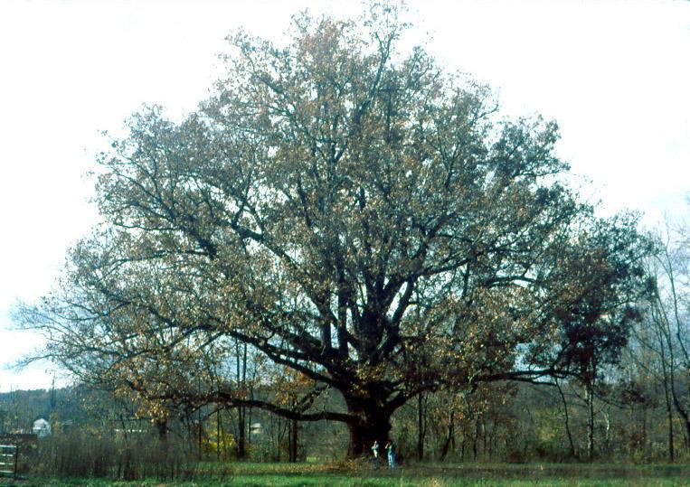 White Oak tree in Ohio