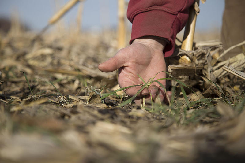 An Iowa farmer displays one of the rye plants he's using as a cover crop to lock more nutrients on his farm instead of sending down river.