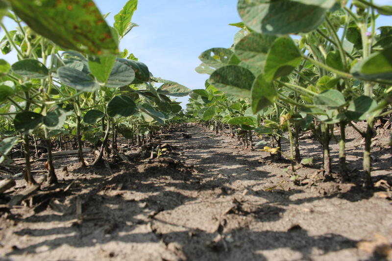 Underneath a stand of soybeans, the soil is free of weeds thanks to chemical herbicides like glyphosate.