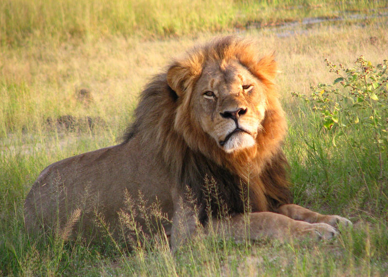 Cecil at Hwange National Park in Zimbabwe 2010