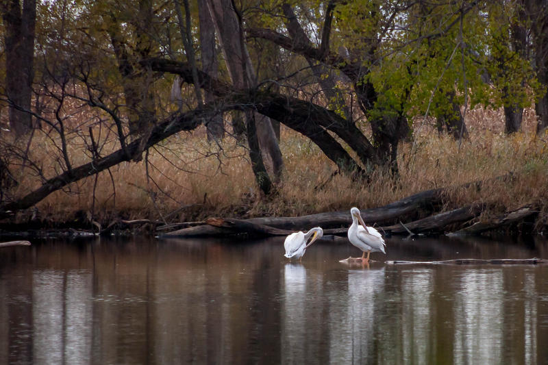 Pelicans in Madison, WI in autumn 2014