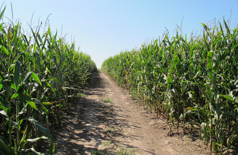 A narrow access road cuts through seemingly endless rows of tall corn in Keith Dittrich's field near Tilden, Neb.