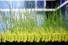 Genetically-modified rice plants in a BASF greenhouse.