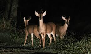 "Iowa's deer ""in the headlights"""