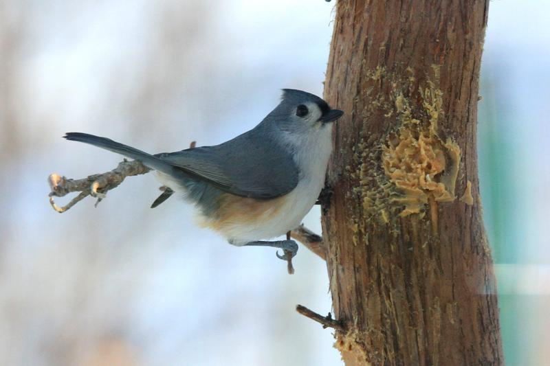 Tufted Titmouse on a homemade peanut butter feeder.