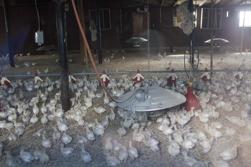 Baby turkeys returned to this barn in northwest Iowa after an avian influenza outbreak last summer.