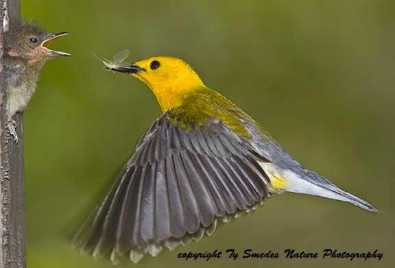 An Iowa Prothonotary Warbler