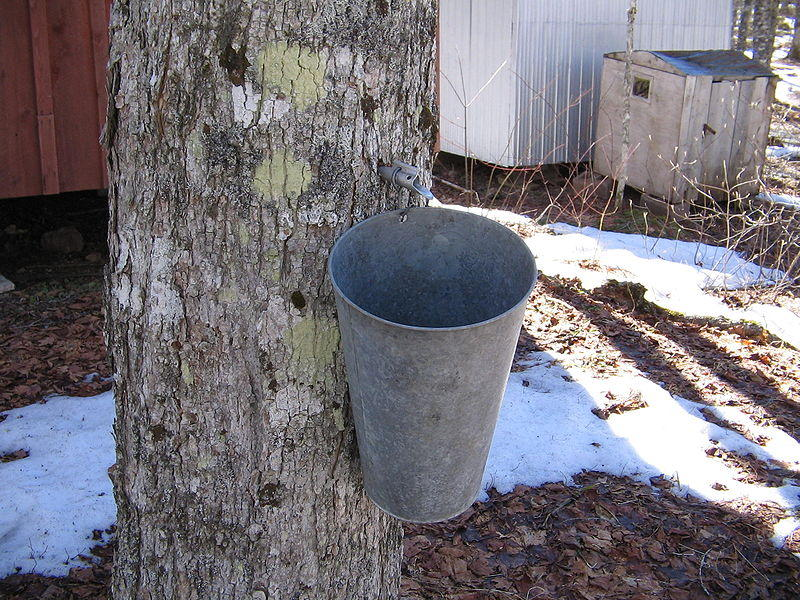 "A maple tree which has been tapped in the ""traditional"" way to harvest maple syrup. In this situation, a hole has been bored into the maple tree and a ""tap"" inserted."