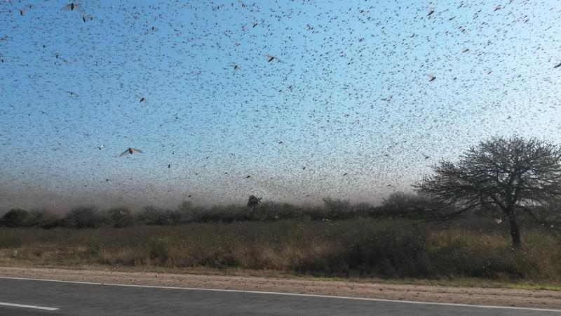 Clouds of locust have swarmed pasture lands in northern Argentina and destroyed fields of onions, carrots and alfalfa.
