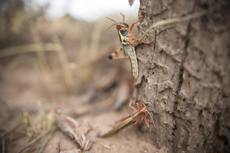 The Argentine locust, Schistocerca cancellata, is a solitary animal until weather conditions and ample food supplies allow its numbers to swell. This grasshopper species is not found in North America.