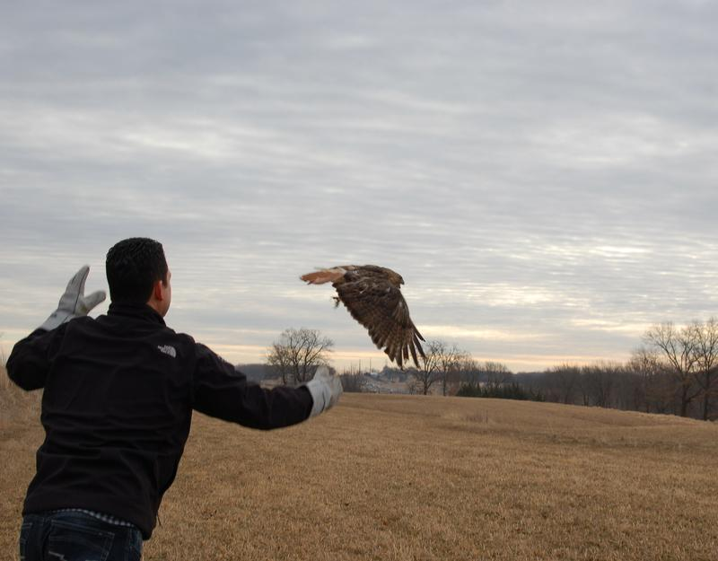 A red-tailed hawk is released in March after rehabiliation at RARE.
