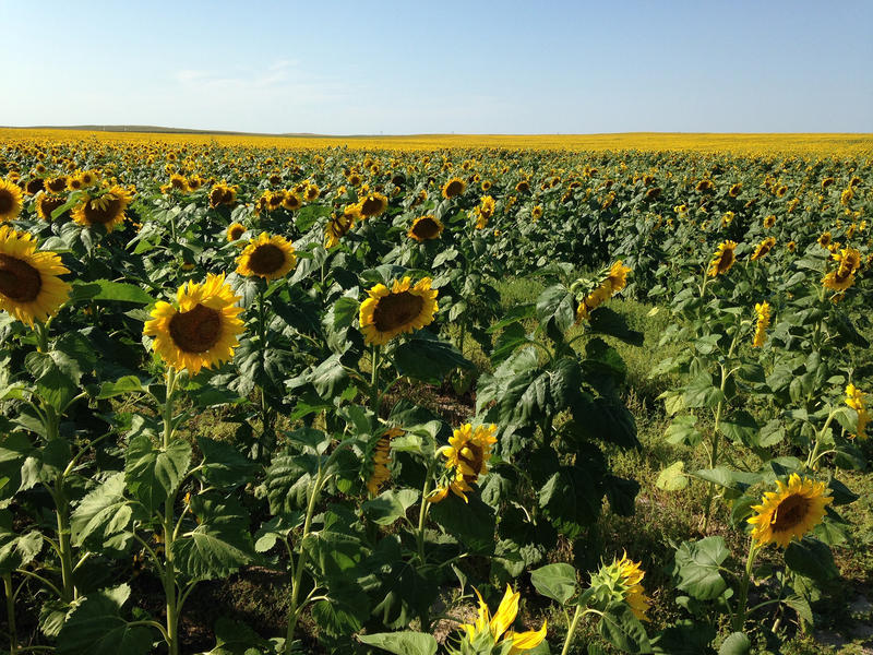 North Dakota and South Dakota, where this photo was taken, grow the most sunflower in the Midwest. But with the right market conditions, the colorful crop could someday expand into the more traditional Corn Belt states.