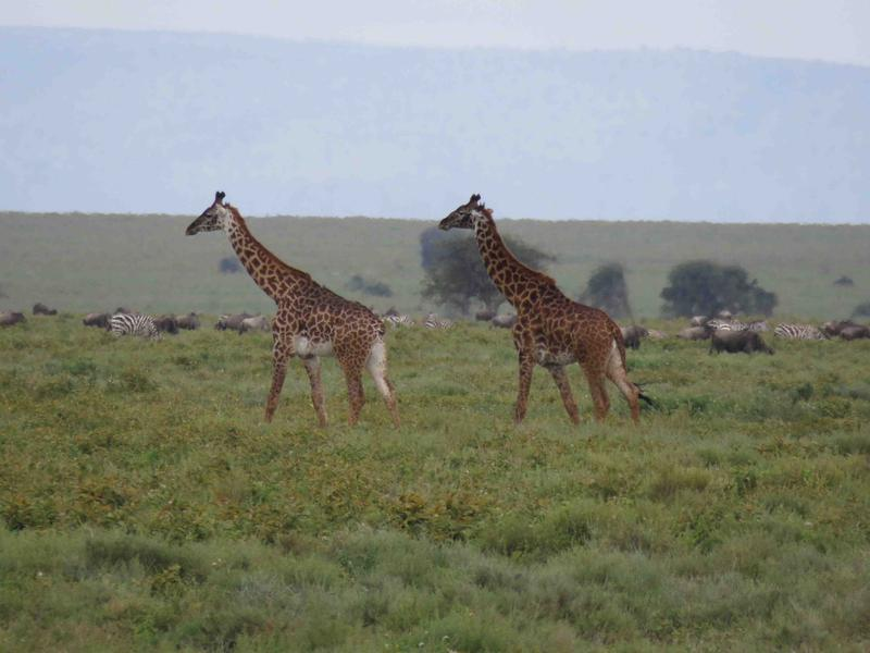 Masai giraffe on the Serengeti with migrating zebras and wildebeests