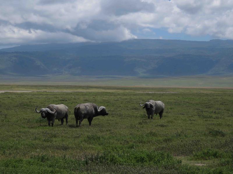 Huge cape buffalo roam Ngorongoro Crater
