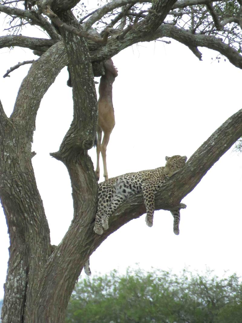 Leopard resting, impala hung beside her