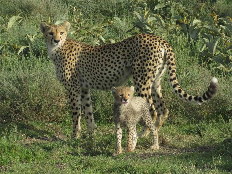 Mother cheetah and cub, waiting for second cub to catch up on the Serengeti