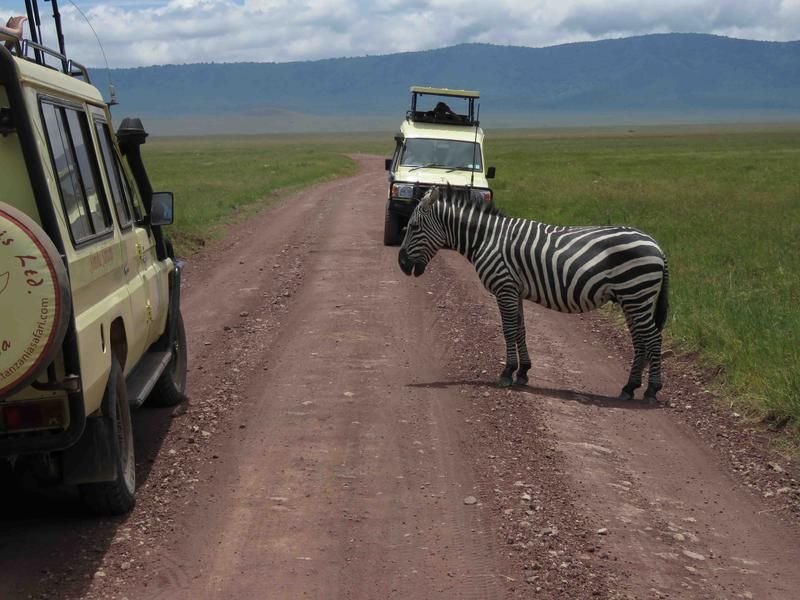 Tourists travel in rugged 4x4 vehicles with lift-up roofs for animal viewing - Animals are acclimated to them