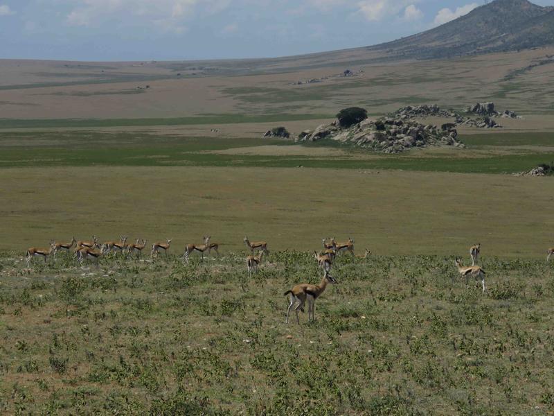 Thomson's gazelles make a living roaming the vast Serengeti