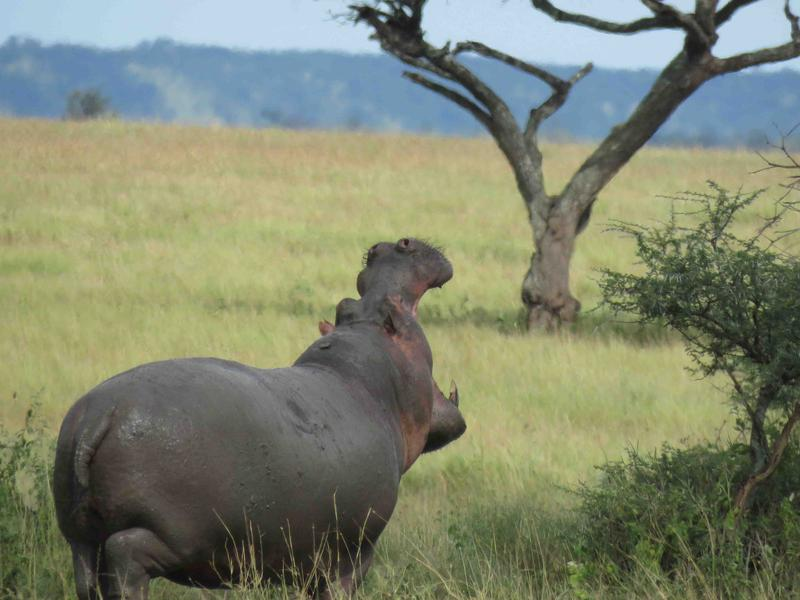 Hippos need big grasslands on which to graze