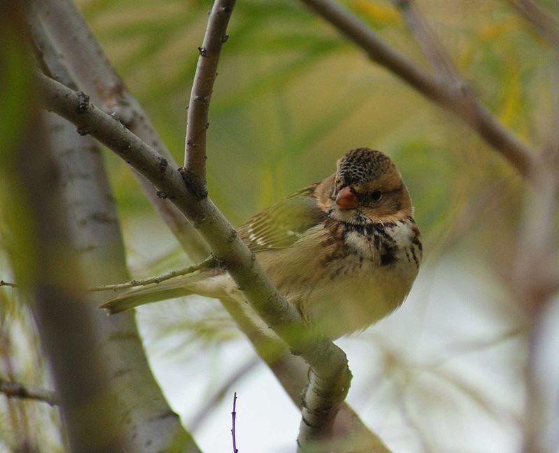 A harris sparrow