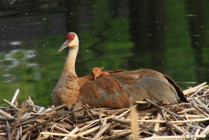 Sandhill cranes are more common in Nebraska and Wisconsin.  This crane and young colt are on a nest in Madison, Wisconsin. (2013)