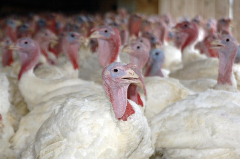 A commercial farm in southwestern Missouri was hit with a low pathogenic avian flu and 39,000 turkeys were destroyed.