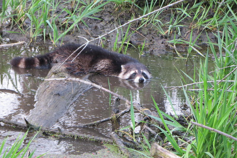 Raccoons appear to have adapted to the wetlands.