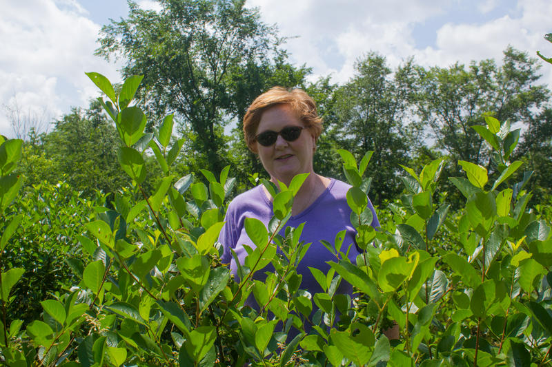 Peggy Fogle and her husband have about 5,000 aronia berry bushes. They put in the first plants in 2008 and it takes several years before they reach full fruit production.
