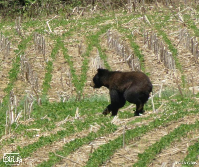 The DNR says a black bear spotted earlier this month in Iowa corn field near the Yellow River Forest was likely the same struck by and truck and killed on Friday.
