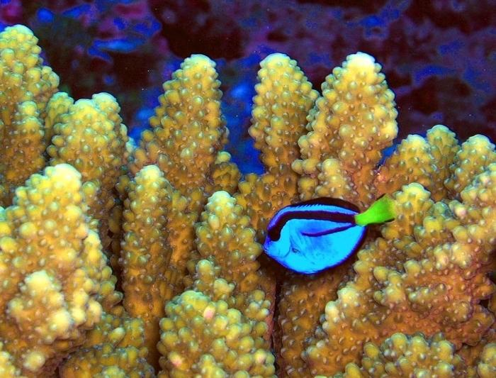 a pacific blue tang