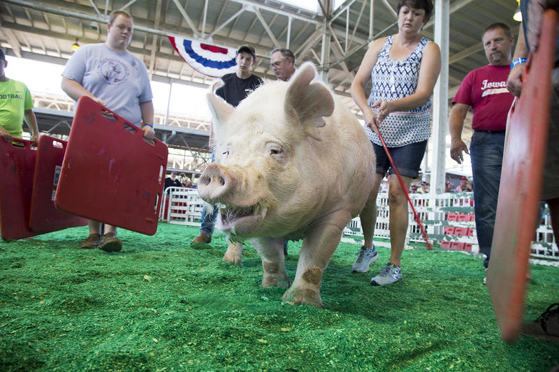 Competitors guide a pig onto the scale at the 2016 Big Boar competition at the Iowa State Fair.