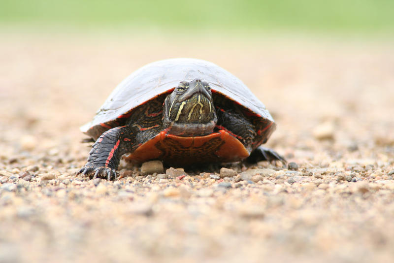Painted Turtle (Chrysemys picta), photo taken near Peoria, IL