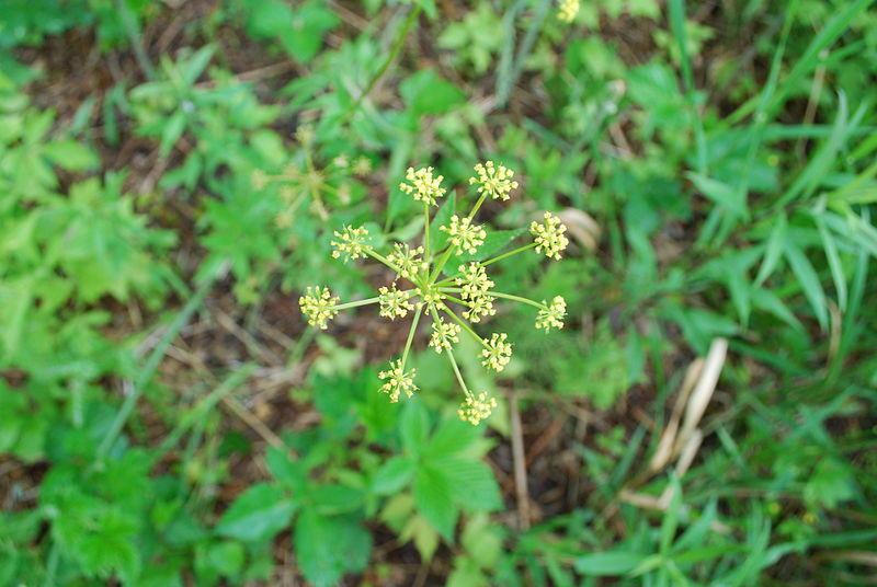 wild parsnip, an invasive plant found in Iowa