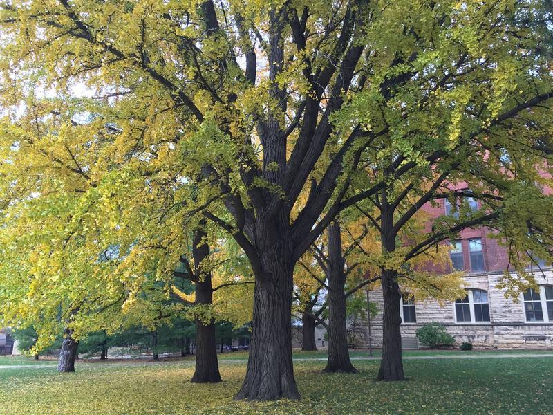 Iowa State University campus' grove of Ginkgo biloba