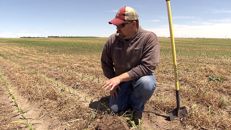 Nebraska farmer Noah Seim evaluates a corn field where cover crops were grown between the rows in an effort to both improve the quality of the soil on his farm and reduce harmful water runoff.