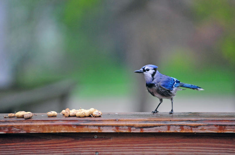 A Blue Jay (Cyanocitta cristata) in Iowa City